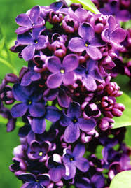 http://www.jardinideal.com/les_lilas.php