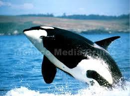 http://www.partirencroisiere.fr/excursions-norvege/lofoten/24-baignade-avec-les-orques.html